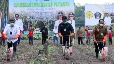 Photo of Produktivitas jagung lokal